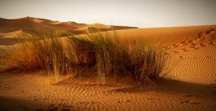 Marokańska pustynna sceneria z pustynną trawy plantacją, diuny dalej Zdjęcie Royalty Free