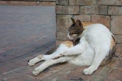 Marokański kot Zdjęcia Royalty Free