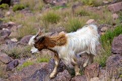 Marokkaanse Berggeit Stock Afbeeldingen
