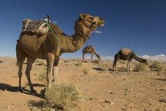 Marokkaanse kamelen in de woestijn Stock Afbeeldingen