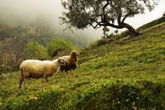 Marokkaanse sheeps Royalty-vrije Stock Afbeelding