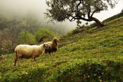 Marokkanische Schafe Lizenzfreies Stockbild