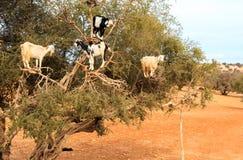 Marokkanische Ziegen Stockfotos