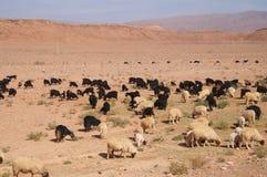 Marokkanische Ziegen nähern sich Oase in Tineghir, Marokko Lizenzfreie Stockbilder