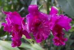 Maroon орхидея Стоковое Изображение RF
