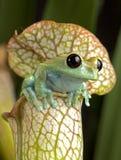 Maroon древесная лягушка глаза Стоковое Фото
