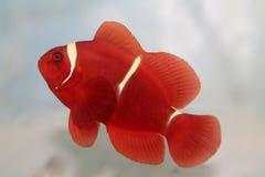 Maroon рыбы аквариума clownfish (biaculeatus Premnas) морские Стоковое Фото