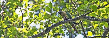 Maroon-bellied длиннохвостый попугай садить на насест в атлантическом дереве тропического леса Стоковая Фотография