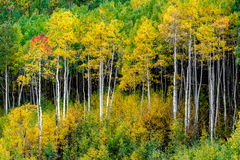 Maroon bells forest - colorado aspen autumn fall colors. Aspen trees in colorado in full autumn gold and yellow - colorado mountain forest at maroon bells in Royalty Free Stock Photography