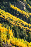 Maroon bells forest - colorado aspen autumn fall colors. Aspen trees in colorado in full autumn gold and yellow - colorado mountain forest at maroon bells in stock image