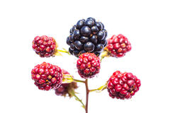Maroon and black blackberries gradually ripening on the branch Stock Photography