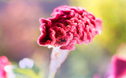 Maroon celosia flower Royalty Free Stock Photography