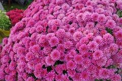Maroon chrysanthemum Stock Image