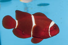 Maroon Clownfish Royalty Free Stock Photography