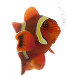Maroon clownfish, Premnas biaculeatus Royalty Free Stock Photography