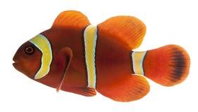 Maroon clownfish, Premnas biaculeatus Stock Images