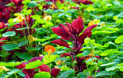 Maroon Coleus Plant. A deep red Coleus plant breaking out from a field of green Nasturtium Royalty Free Stock Image