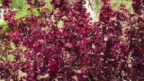 Maroon colored leaves stock video