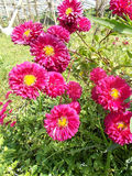 Maroon crysanthemum mums flowers, crysanths Royalty Free Stock Photos