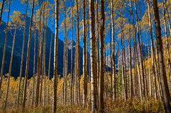 Maroon Curtain. A row of Aspen Trees provides an interesting curtain between me and the beauty of Maroon Bells (right) and Pyramid Peak (left).  This image was Royalty Free Stock Photography