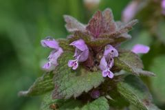 Purple Florets on Maroon Deadnettle. Maroon Deadnettle alternating pyramid shaped leaves with tiny purple Florets Stock Photos