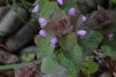 Purple Florets on Maroon Deadnettle. Maroon Deadnettle alternating pyramid shaped leaves with tiny purple Florets Royalty Free Stock Photos