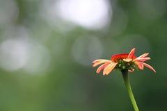 Maroon Echinacea flowers Royalty Free Stock Images