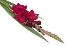 Maroon flower gladiolus isolated Stock Photo
