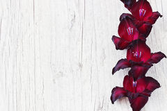 Maroon gladiolus Royalty Free Stock Images