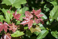Maroon and green leaves Stock Photography