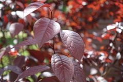 Maroon leafage of prunus pissardii tree Royalty Free Stock Photography