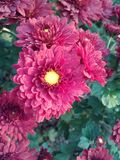 Maroon Mums. Flowers garden nature color royalty free stock photo
