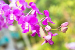 Maroon orchid Royalty Free Stock Photography