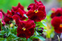Maroon Pansy Flowers on Flower Bed Royalty Free Stock Photos