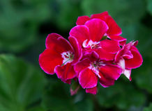 Maroon pelargonium with a white core.House Geranium's. Maroon pelargonium with a white core Stock Photography