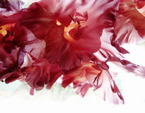 The maroon petals of gladiolus. Stock Images