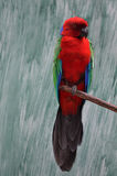 Maroon shining parrot Royalty Free Stock Images