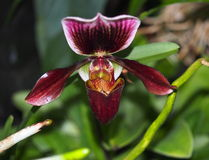Maroon Slipper Orchid Royalty Free Stock Photography