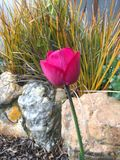 Maroon tulip. In garden with stones and grasses Stock Photo