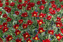 Maroon tulips with jagged petals in the garden together with blu. E hyacinths Stock Photos