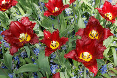 Maroon tulips with jagged petals in the garden together with blu. E hyacinths. Closeup of the top Royalty Free Stock Photo