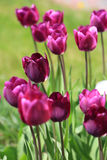 Maroon tulips , selective focus Stock Photos