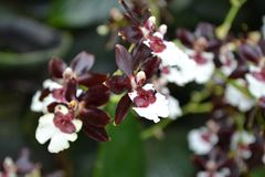 Maroon and white coloured tropical orchid royalty free stock photo