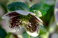 Maroon and White Lenten Rose Flower Royalty Free Stock Photography