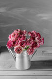 Maroon and white persian buttercup flowers. Curly peony ranunculus in Metallic gray vintage watering can, copy space. Royalty Free Stock Photography