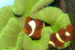 Maroon Yellow Stripe Clownfish Pair Royalty Free Stock Photo