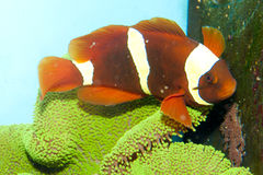 Maroon Yellow Stripe Clownfish Pair Stock Images