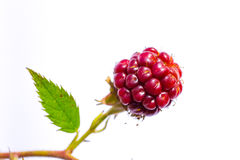 Maroon young blackberries with a small carved leaves Stock Images