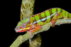 豹变色蜥蜴, marozevo,马达加斯加 免版税图库摄影