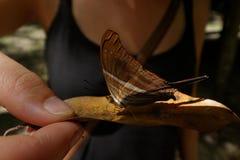 Marpesia Daggerwing chiron Skrzyknący motyl obraz stock